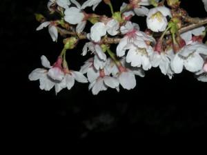 桜の花がいくつか写った写真