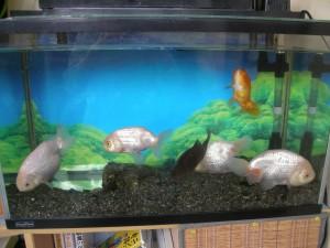 金魚5匹とフナ1匹が移った水槽の写真
