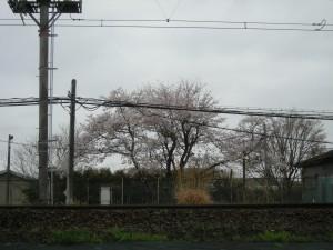 変電所の桜