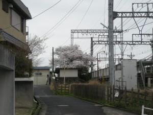 美旗駅の桜