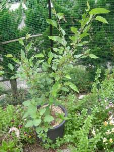 鉢植えの桑の木