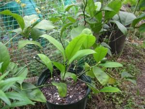 レモンの鉢植え