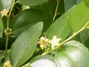 薄い緑色のナツメの花