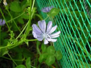 薄いブルーのチコリの花、花の形はコスモスに似ている。