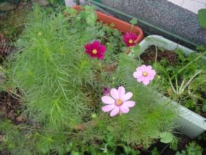 濃い赤色とピンク色の花が2つずつ咲いている前庭のコスモス