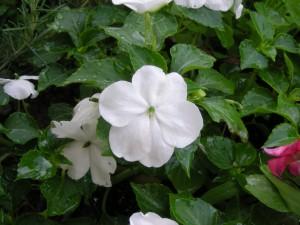 白花のインパチエンス