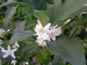 きんかんの白い花