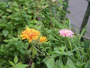 オレンジとピンクの花を咲かせているジニア(ヒャクニチソウ)