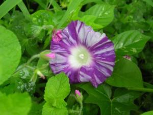 紫色に白い斑が入った朝顔の花
