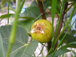 黄色っぽい小ぶりのイチジクの果実