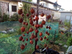 2週間経った干し柿