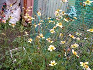ウインターコスモス月姫がたくさん咲いている