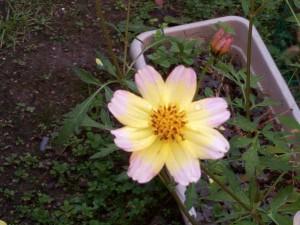 コスモスのような鼻で花びらの中心部が黄色,外回りがピンク色になっている。