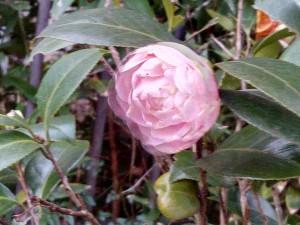 ピンク色の八重の椿