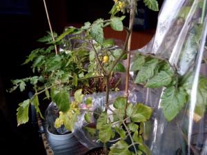 室内にトマトの鉢がある様子