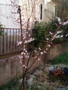 梅(豊後)2016/03/17