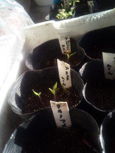 トマト2種の発芽_20180324