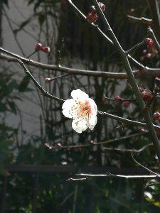 南高梅の花2019